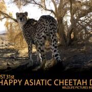 Asiatic-cheetah-day