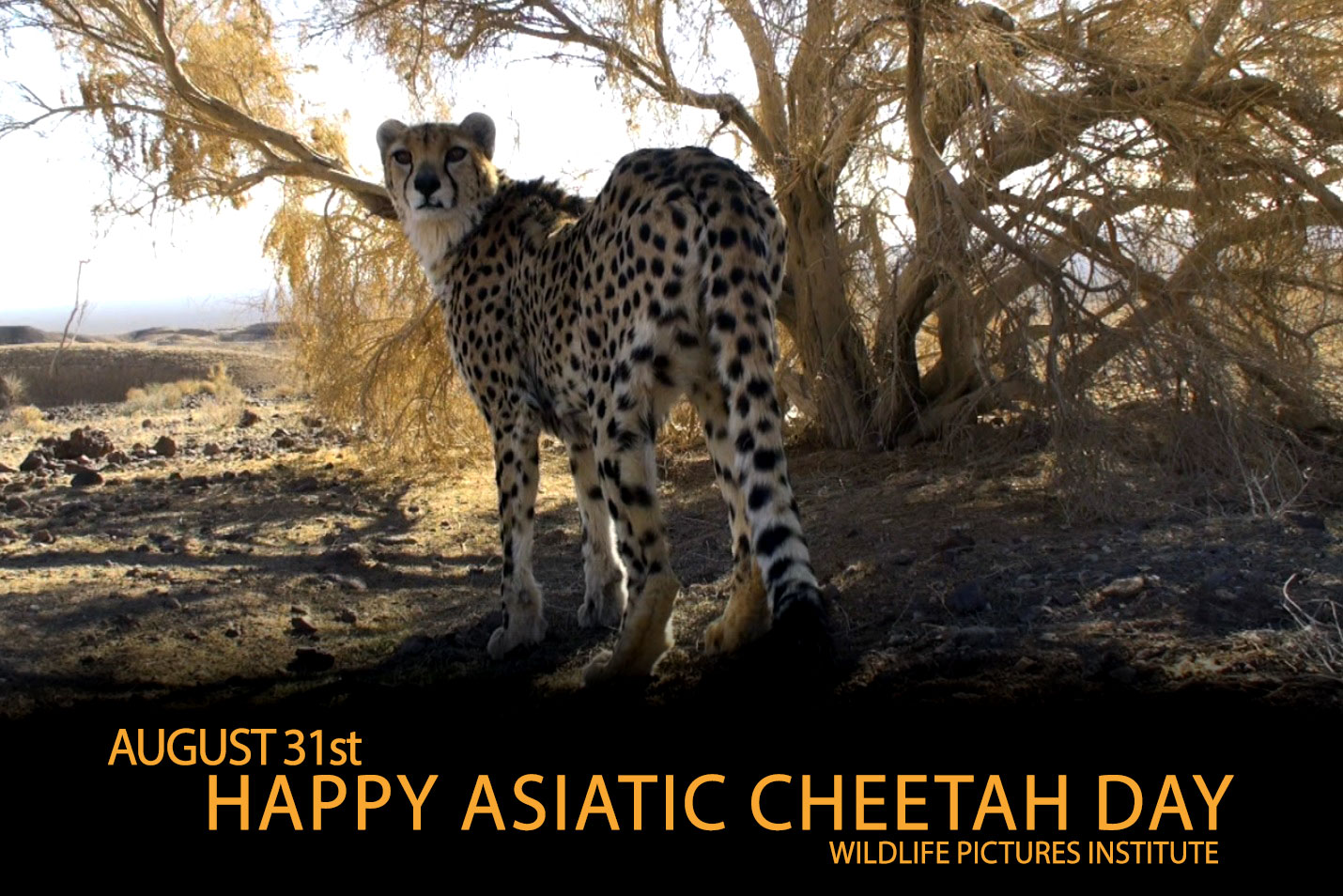 Asiatic-cheetah-day