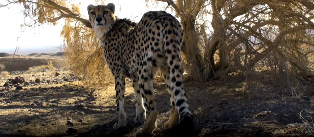 cheetah-day-ban1