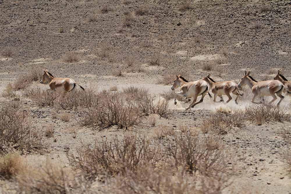 گور ایرانی - پارک ملی توران